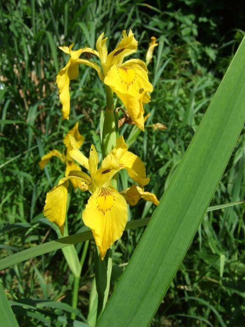flower iris swamp iris