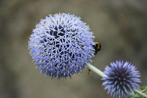 flower,blue flower,close,blossom,bloom