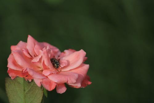 flower honeybee pink
