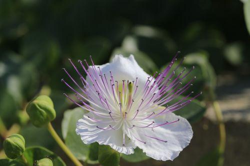 flower caper edit