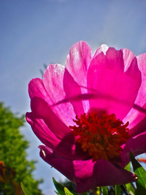 flower red himmel