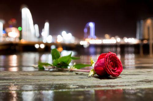 flower rose city sea