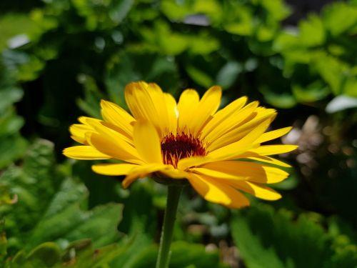 gėlė,geltona,marigoldas