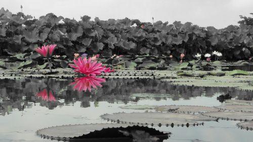 flower nymphaea alba hasuike