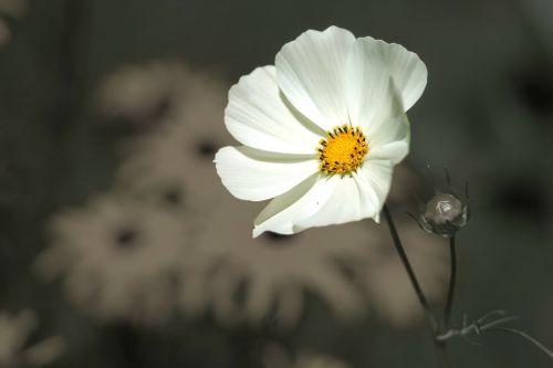 gėlė,gėlės,gamta,augalas,pavasaris,juoda,balta,juoda ir balta,geltona,pilka,dažyti,lazdelė,spalvinga