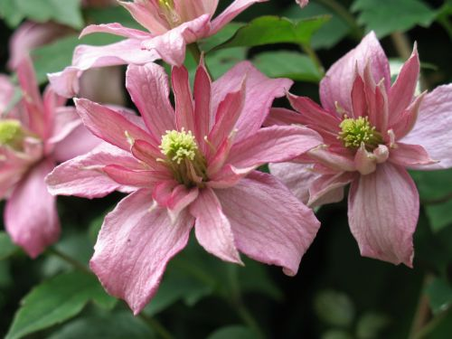 flower pink clematis