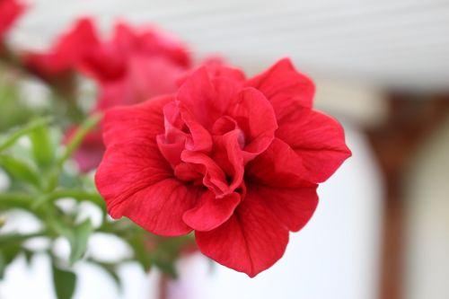 flower blooming red petals