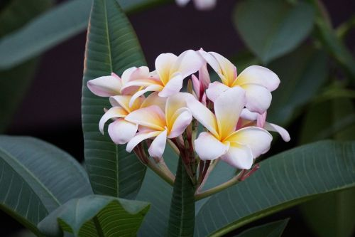gėlė,žydėti,gėlių,gamta,pavasaris,žiedas,augalas,vasara,sodas,natūralus,žydi,lapai,šviežias,rožinis,balta,botanika,lapai,lapija,Hawaii,atogrąžų