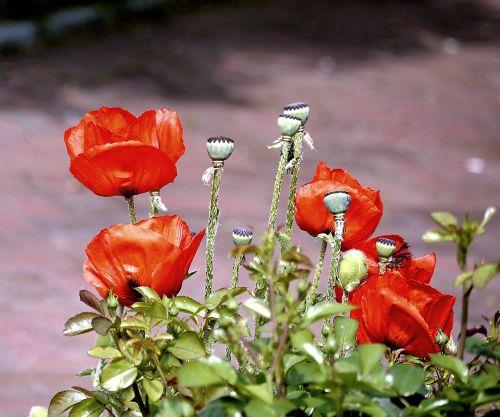 flower poppy red poppy