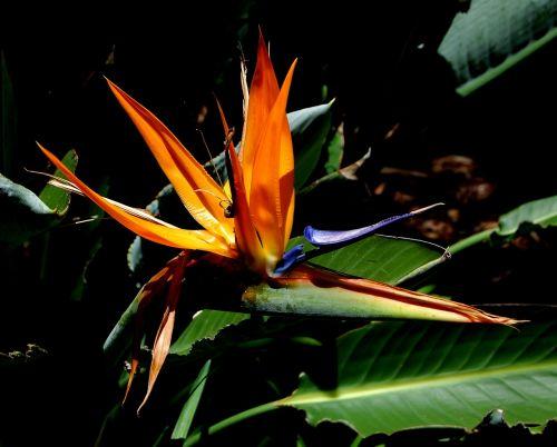 flower bird of paradise exotic flowers