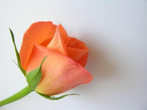 flower orange orange flower