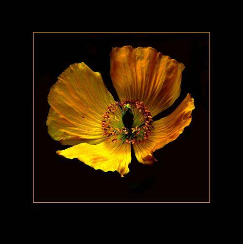 žiedas,žydėti,makro,sodas,gėlės,augalas,gėlė,gamta,vasara,aguona,aguonos gėlė,Uždaryti,flora,tvirtas,bičių žiedadulkės,žydėti,šviesus,žiedadulkės,aguonų kapsulė,filigranas,mohngewaechs,spalva,geltona,švelnus,žiedas,žydėjo