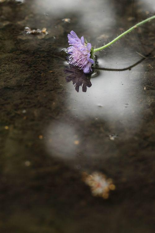 gėlė,laukinė gėlė,viena gėlė,vasaros gėlė,gamta
