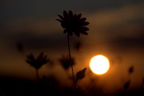 flower shadows sunset