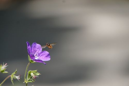 flower bee pollination