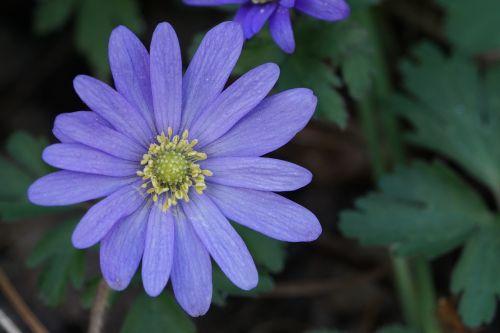 flower purple bluish