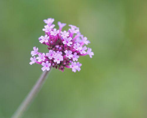 flower pink cluster