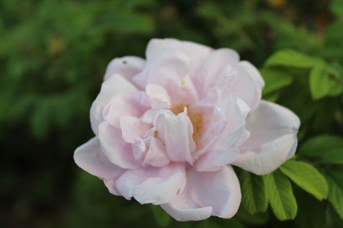 gėlė,Balta rožė,rožė,uždaryti nuotrauką,Bangladešas,žiedas,rožinė rožė,Raudona roze