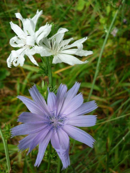 flower chicory albino