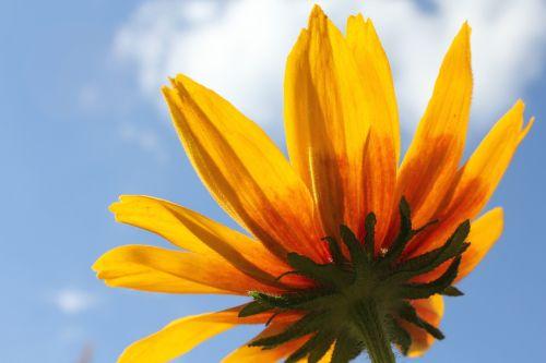 gėlė,rudbeckia,gėlės,geltona gėlė,graži gėlė,žydėti,vasara,sodo gėlės,dangus,gėlė rudbeckia,vasaros gėlė,geltonos gėlės