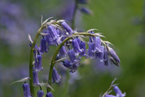 flower bloom bluebell