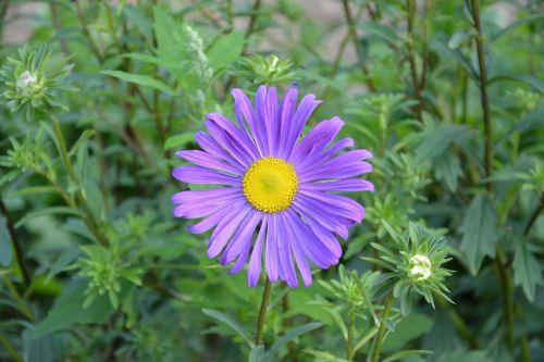 flower violet petals violets