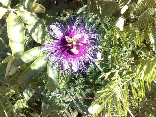 flower passion fruit passion flower