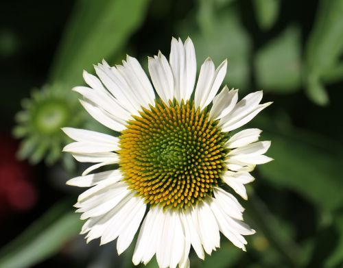 flower,white,green,white flower,nature,blossom,bloom,plant,close,summer,white green,flora,white flowers,garden,floral photography,beautiful,marguerite