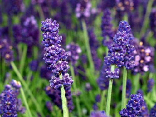 flower lavender blooms