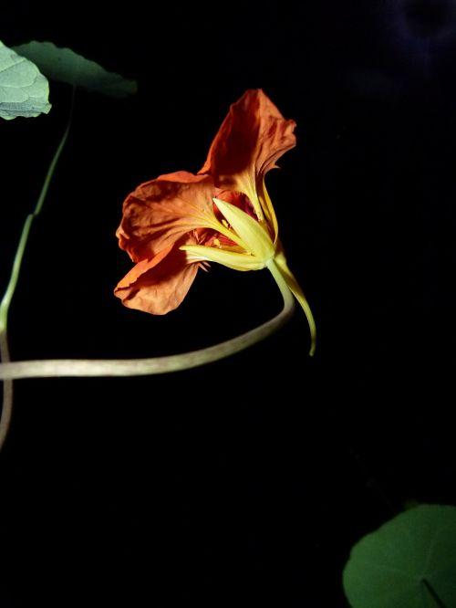 flower nasturtium red