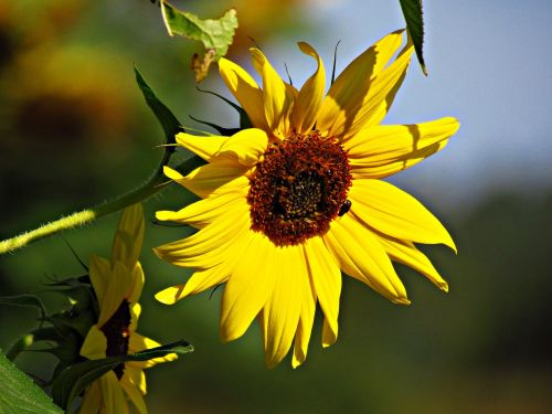 flower sunflower the sun