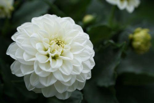 flower white white flower