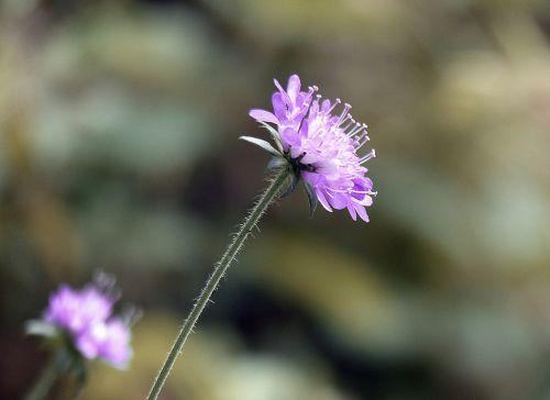 gėlė,žiedas,žydėti,gamta,augalas,Uždaryti,vasaros gėlė,filigranas,vasara,aštraus gėlė,laukinė gėlė