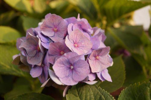 gėlė,žiedas,žydėti,vasara,violetinė,violetinė,augalas,gamta,gėlė violetinė,makro,violetinė gamykla,maža gėlė,gėlės grafika