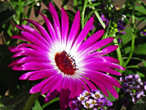 flower lila daisy