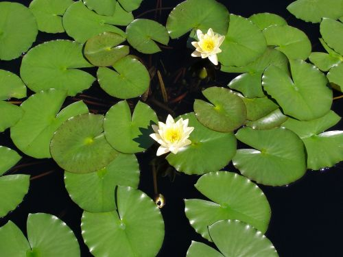 flower lily pad lily