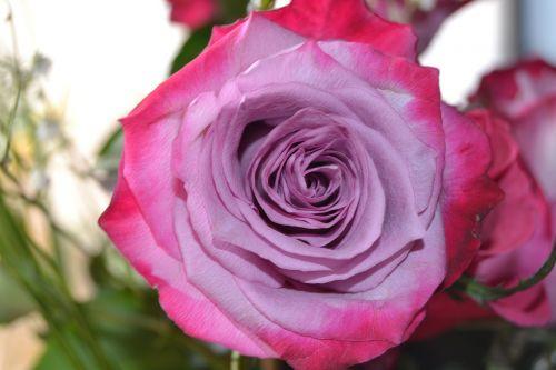 flower rose mauve