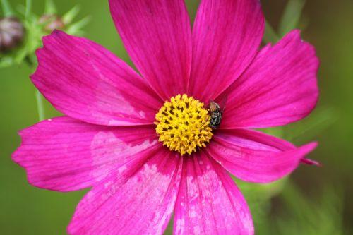 flower cosmos pink