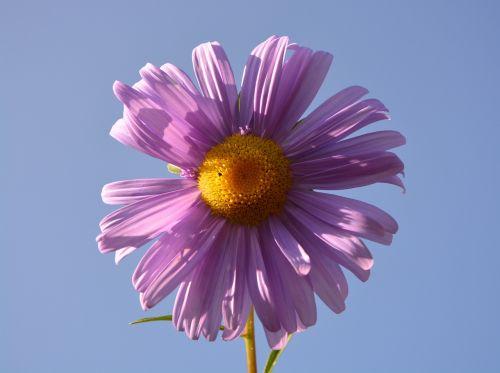 flower petals violet
