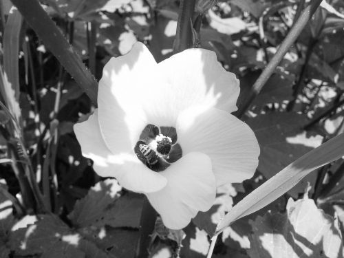 flower black and white white