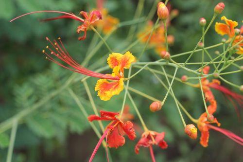 gėlė,ugnies medis,vasara,žydėti,gamta,kraštovaizdis