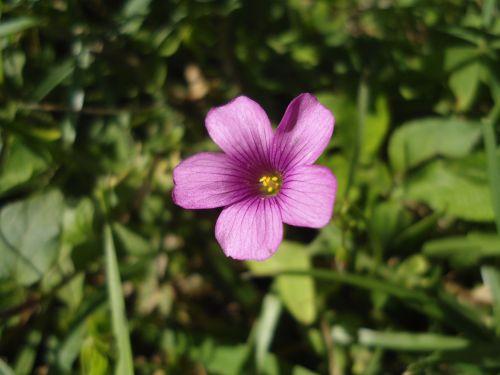 flower rosa plant