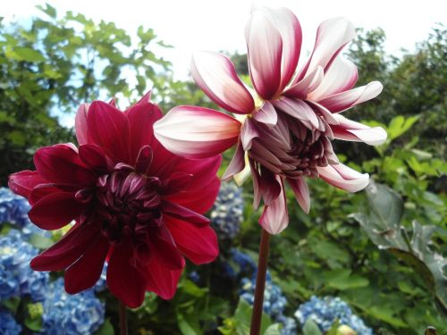flower red dahlia