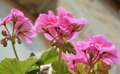 flower pink buds