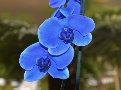 flower orchid blue orchid