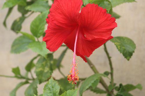 flower hibiscus china rose