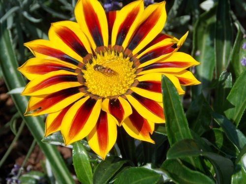 flower insect hoverfly