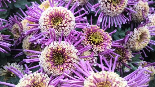 flower purple intensive