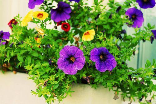flower zauberglockchen balcony plant