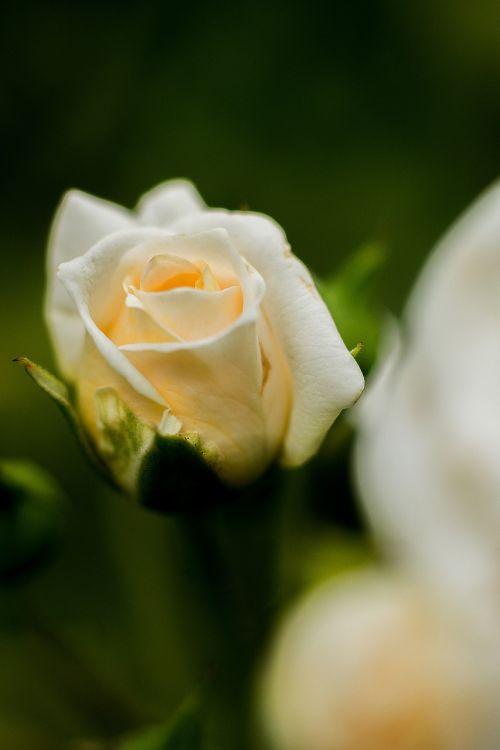 flower rose blossom